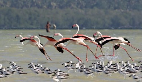 Greater flamingos pong dam