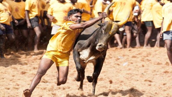 PETA to move to SC against laws allowing Jallikattu and Kambala