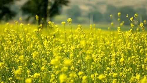 Rajasthan not ready for genetically modified mustard: Rajasthan Agriculture Minister