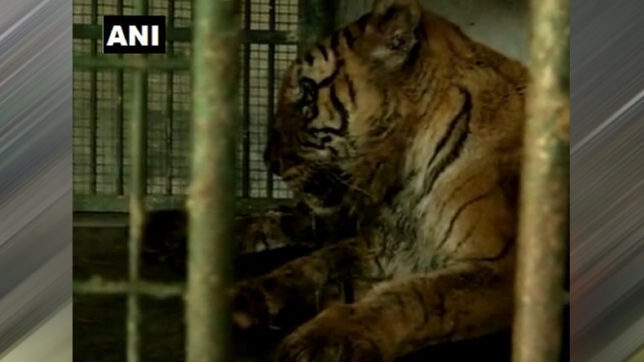 Country's oldest Royal Bengal Tigress Swati passes away at 20