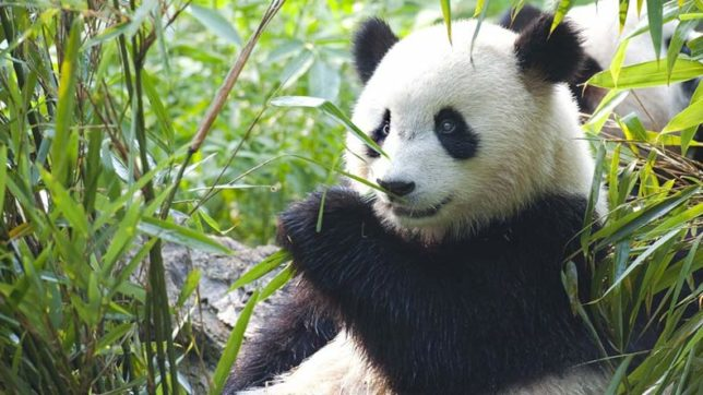 23-year-old giant panda gives birth to twins in China