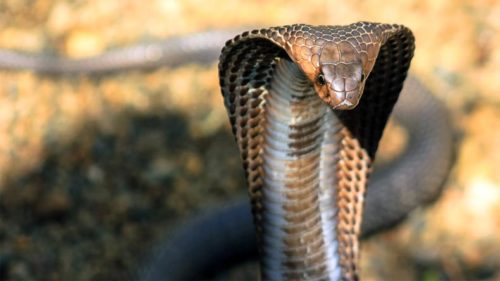 Watch: Cobra almost loses life in a tussle with beer can