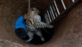 In a kind act to rescue a trapped leopard in the capital of Assam, Guwahati; Dr Bijoy Gogoi risked his life and undertook the task to extract the female leopard from an open-well. The uninjured animal was later shifted to the Assam State Zoo.