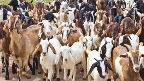 Kanpur goatherd hoodwinked by dog in goat's clothing