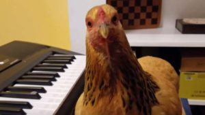 US, US national anthem, Chicken Playing national anthem, chicken playing Keyboard Piano, trending, viral video, trending news