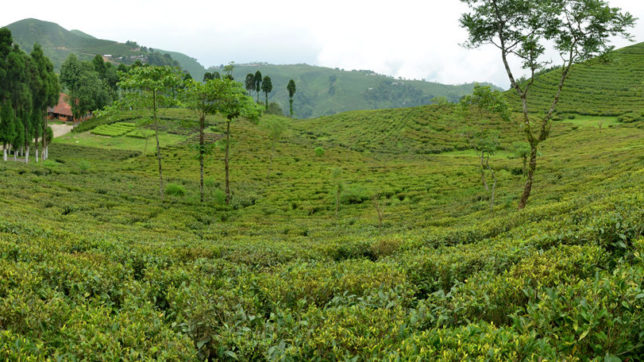 Political unrest likely to affect Darjeeling tea exports: ICRA