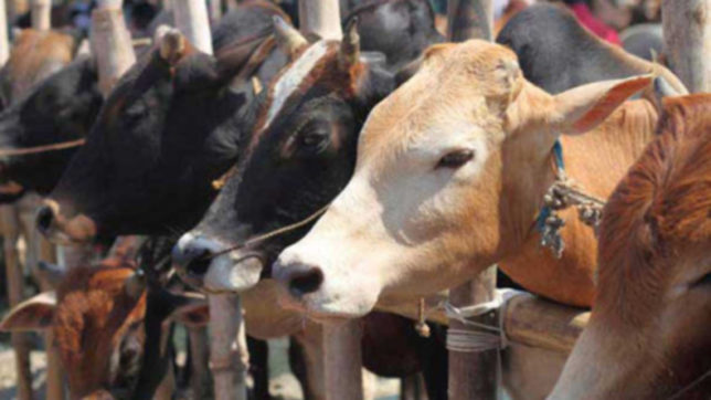 Cattle smuggling from India harms Bangladesh dairy industry: BGB