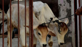 Shocking! Man held for having unnatural sex with three cows in Gujarat's Vadodara