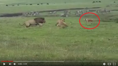 Tiny dog's loud bark makes scared lions flee in Tanzania