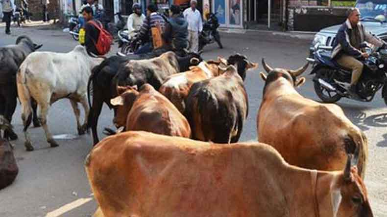 Haryana government to impose Rs 5100 fine on those abandoning milch cows
