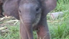 Herd of elephants salute human beings! Show their gratitude for saving baby elephant