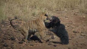 Viral video! Watch brave bear scares tiger away to protect her child