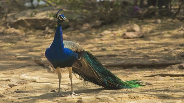 Tricolour burial for peacock! Wildlife activists left fuming