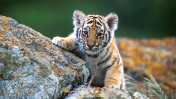 International Tiger Day,International Tiger Day 2018,World Tiger Day,international tiger day 2018 theme,29 july,international tiger day images,international tiger day quotes,international tiger day slogan,29 july 2018,global tiger day,All India Tiger Estimation,All India Tiger Estimation Report